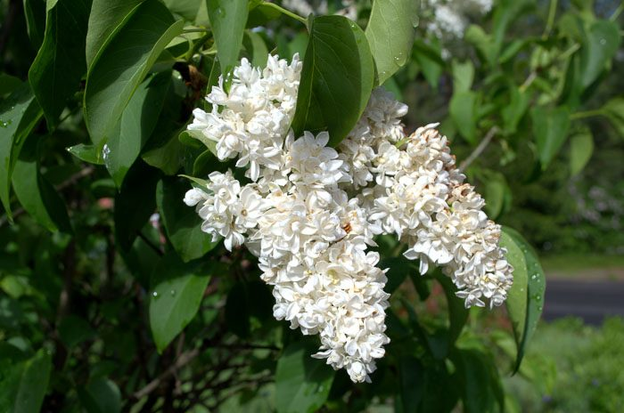 White lilac, heirloom lilac, How to grow lilacs