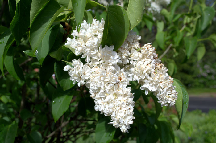 White lilacs, Flower patch farmhouse