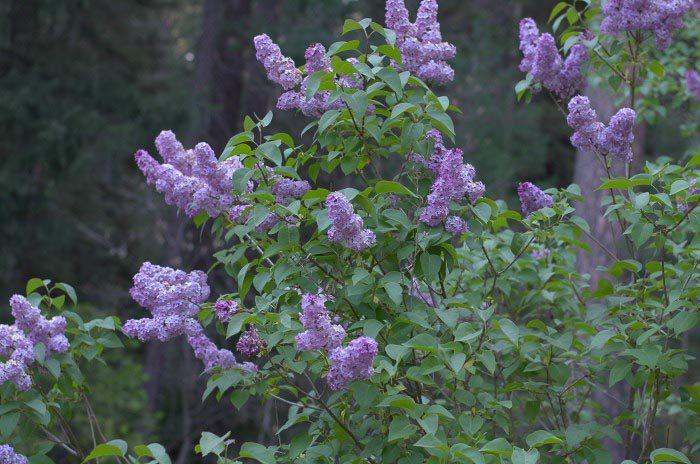 Plant your Cottage Garden for Continuous Color, Lilacs
