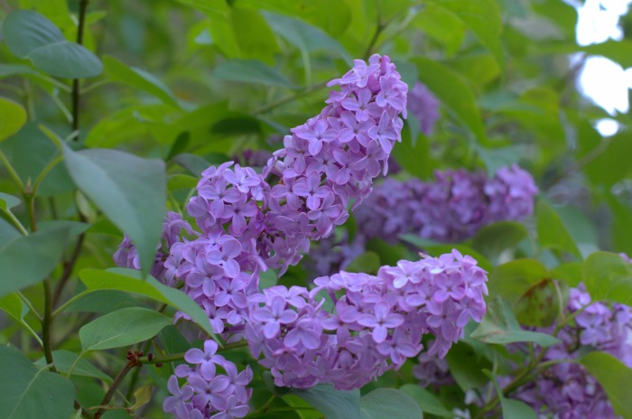Lilacs of white pines, FlowerPatchFarmhouse.com