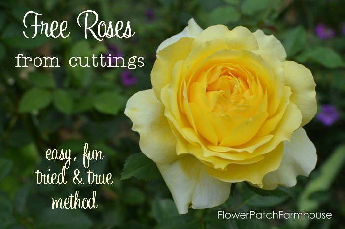 Free roses from Cuttings, easy, fun and successful method even kids can do. No fancy equipment. FlowerPatchFarmhouse.com