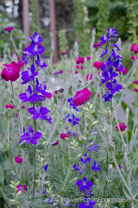 Rose Campion and Larkspur, FlowerPatchFarmhouse.com