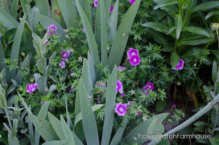 Elke Hardy or Cranesbill geranium