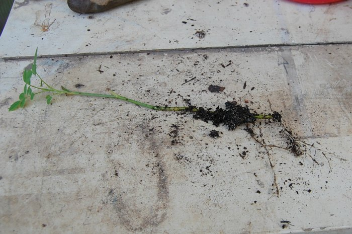 Roots on a rose cutting, FlowerPatchFarmhouse.com