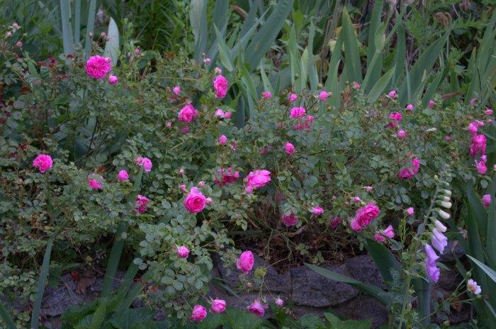 petal pusher roses, FlowerPatchFarmhouse.com