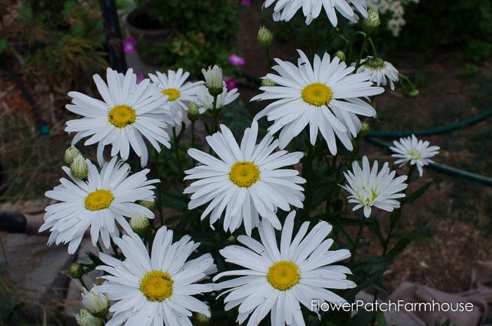 Shasta Daisy, FlowerPatchFarmhouse.com