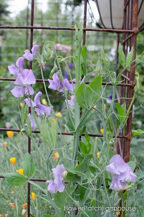 Sweet Peas, FlowerPatchFarmhouse.com