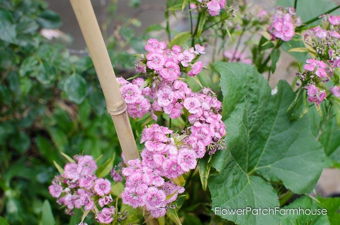Sweet Williams, FlowerPatchFarmhouse.com