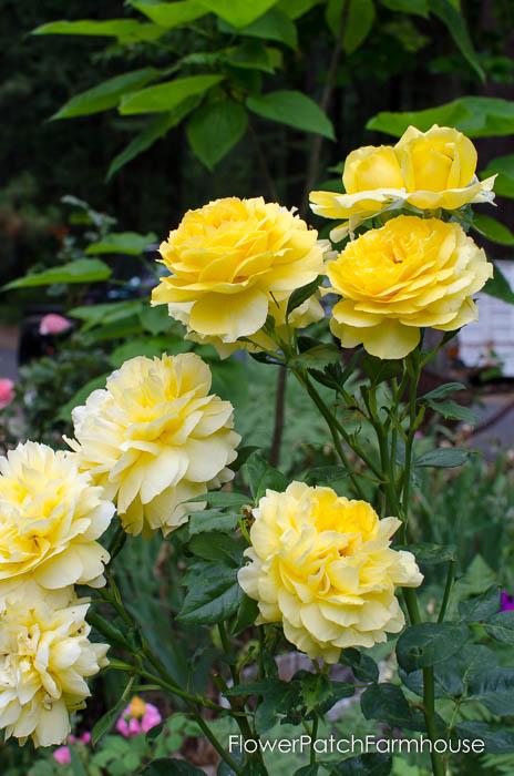 Graham Thomas English Rose, FlowerPatchFarmhouse.com