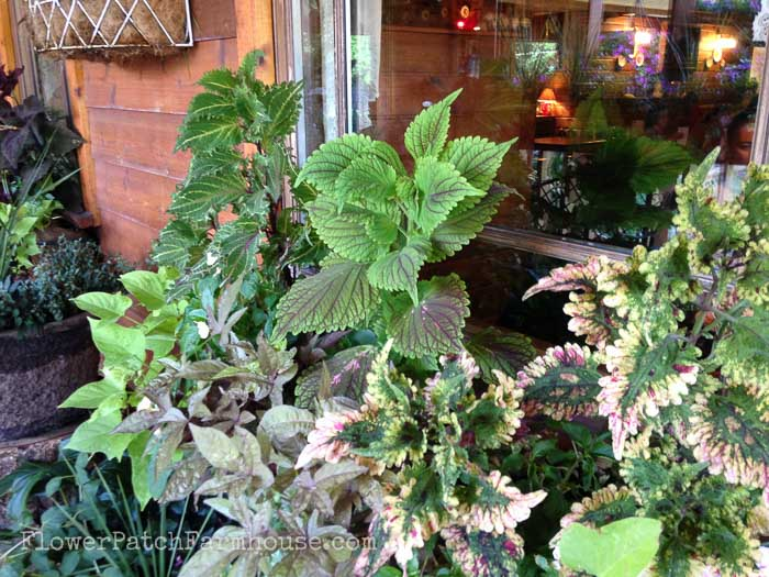 Coleus, Rex Begonia, Planters for Shade FlowerPatchFarmhouse.com Shade Loving plants you can grow in containers and brighten up those dark spots!