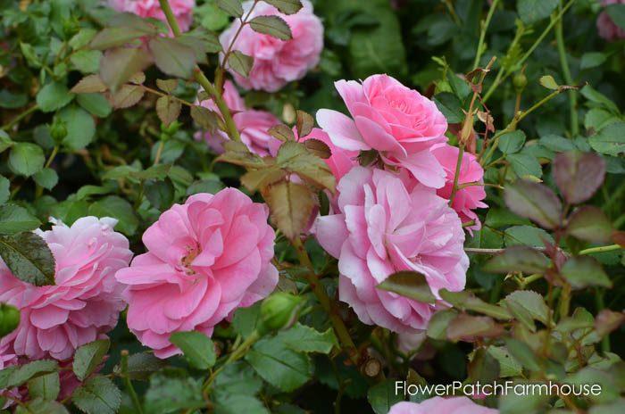 Augusts Roses, FlowerPatchFarmhouse.com (8 of 41)