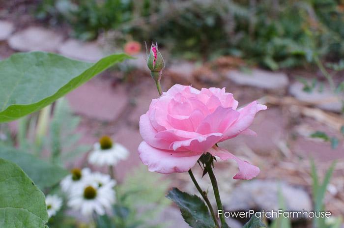 Ten Rose Care Myths