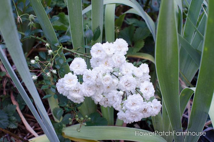 Vintage ground cover rose, FlowerPatchFArmhouse.com