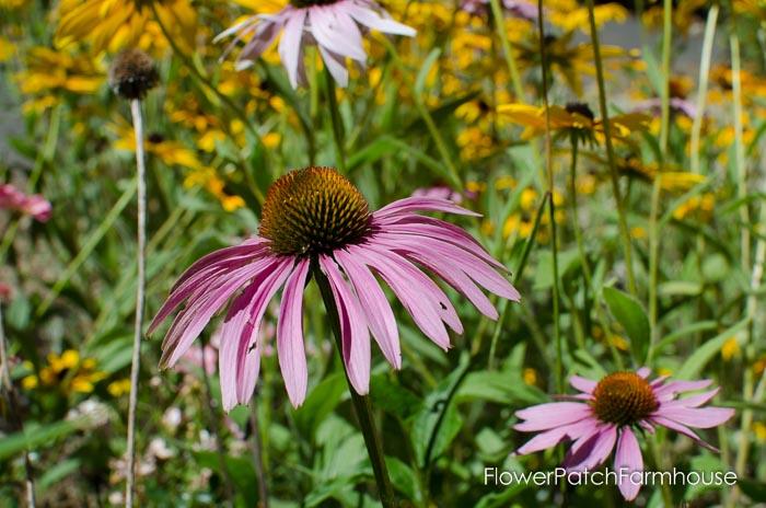 Common Echinacea Coneflower, FlowerpatchFarmhouse.com