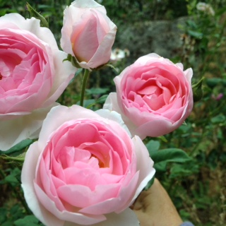 Sceptre'd Isle Roses are Easy to Grow, don't believe all the misinformation about roses being difficult, learn how you can grow roses too!
