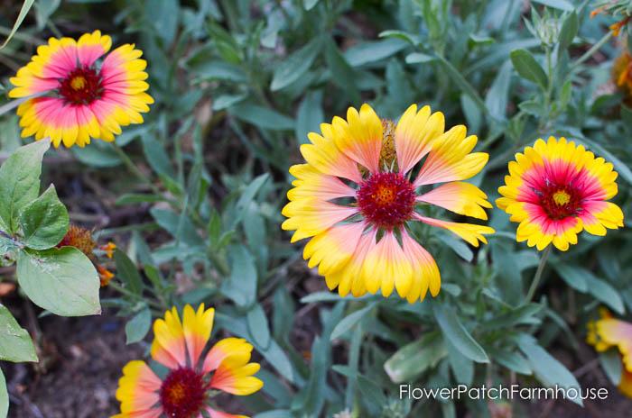 September 19 garden walk, FlowerPatchFarmhouse.com-0014