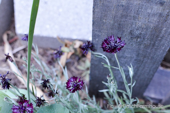 September 19 garden walk, FlowerPatchFarmhouse.com-0016