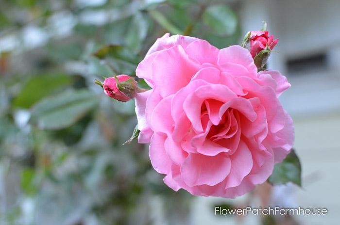 September 19 garden walk, FlowerPatchFarmhouse.com-0022