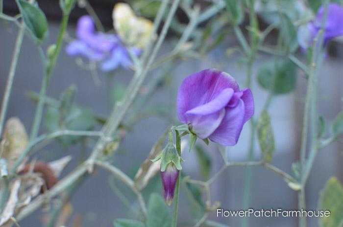 September 19 garden walk, FlowerPatchFarmhouse.com-0030