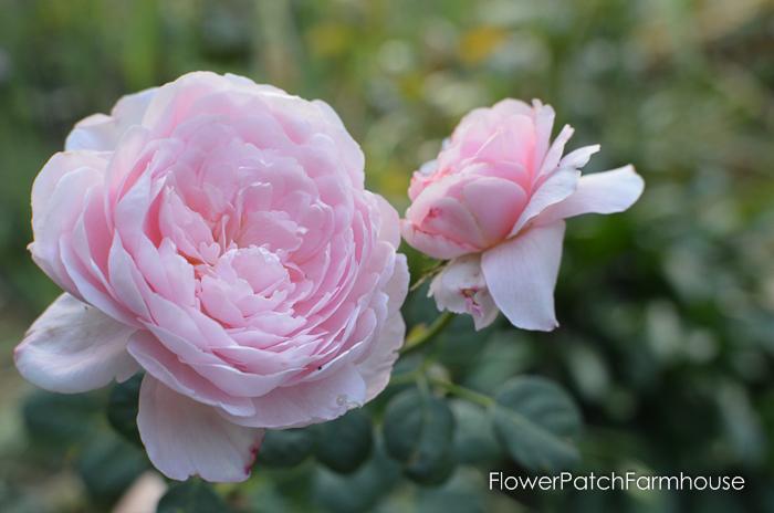 Queen of Sweden David Austin Rose, FlowerPatchFarmhouse.com