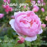 Prune Roses so they Love you!