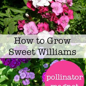 Sweet Williams, how to grow Sweet Williams in your Cottage Garden