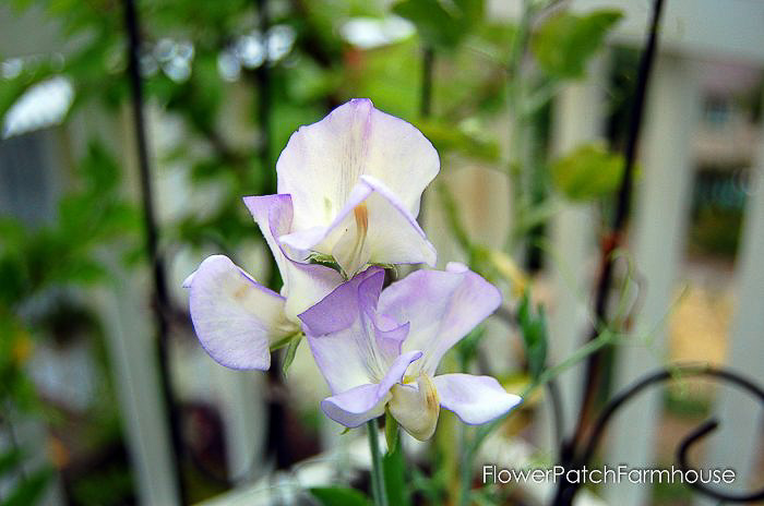 High Scent Sweet Pea