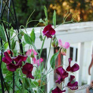 How to Grow Sweet Peas, FlowerPatchFarmhouse.com (1 of 5)