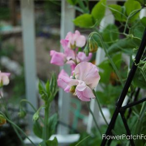 How to Grow Sweet Peas, FlowerPatchFarmhouse.com (2 of 5)