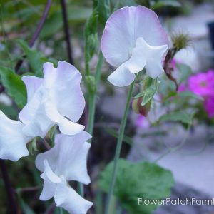 How to Grow Sweet Peas, FlowerPatchFarmhouse.com (2 of 6)