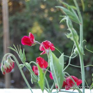How to Grow Sweet Peas, FlowerPatchFarmhouse.com (3 of 5)