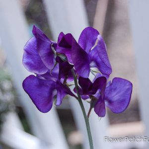 How to Grow Sweet Peas, FlowerPatchFarmhouse.com (5 of 5)