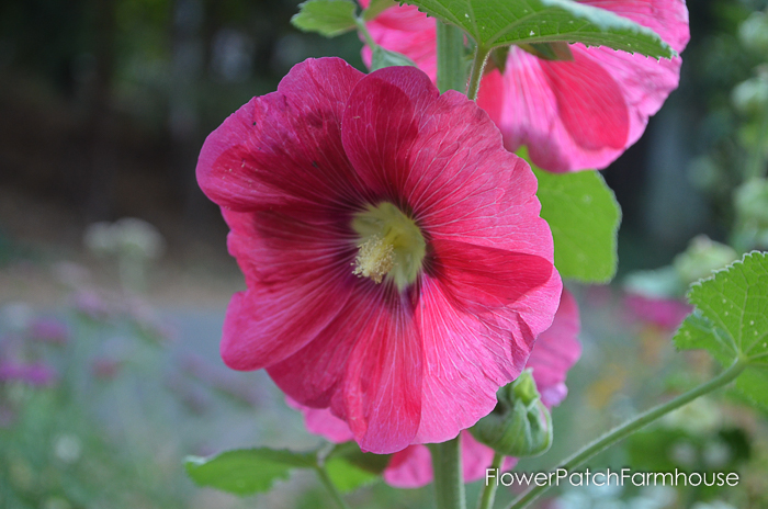 How to Grow Tall Elegant Hollyhocks in your Cottage Garden, FlowerPatchFarmhouse.com (4 of 9)