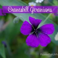 How to Grow Hardy Geraniums