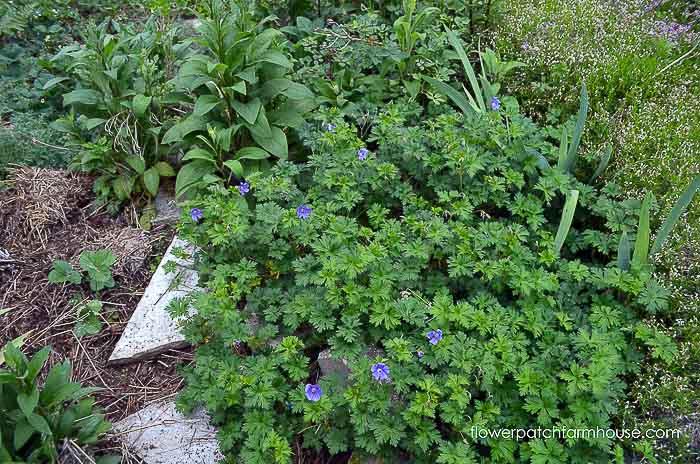 Blue hardy cranesbill geranium, Flower Patch Farmhouse