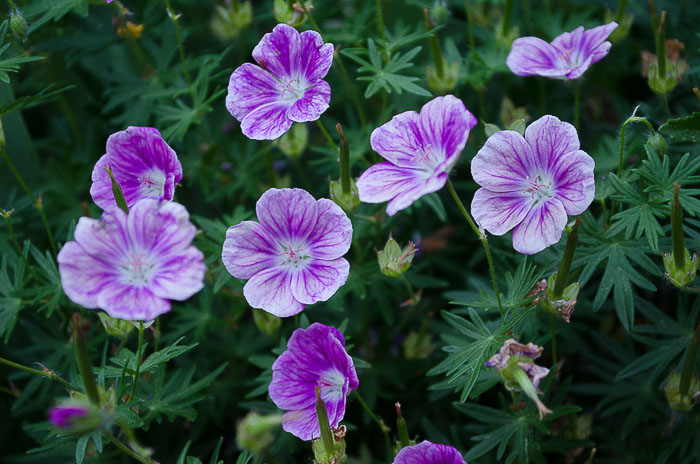 Elke Hardy Cranesbill Geranium close up, Flower Patch Farmhouse