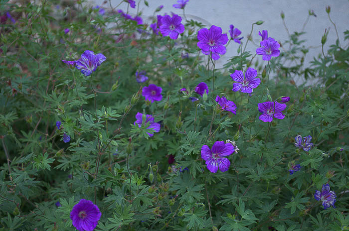 Tiny Monster Hardy Cranesbill Geranium, Flower Patch Farmhouse
