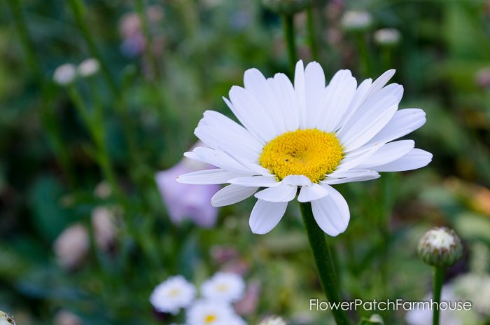 How to Grow a Shasta Daisy, FlowerPatchFarmhouse.com (12 of 14)