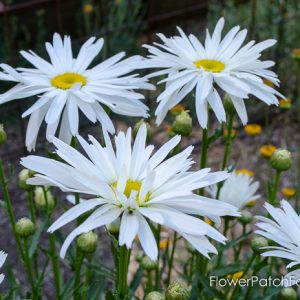 Ten Cottage Flowers that Reseed Themselves