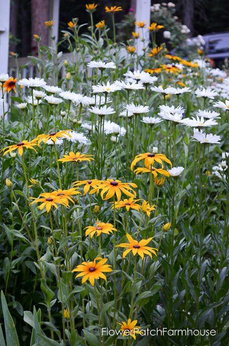 how to grow daisies, FlowerPatchFarmhouse.com