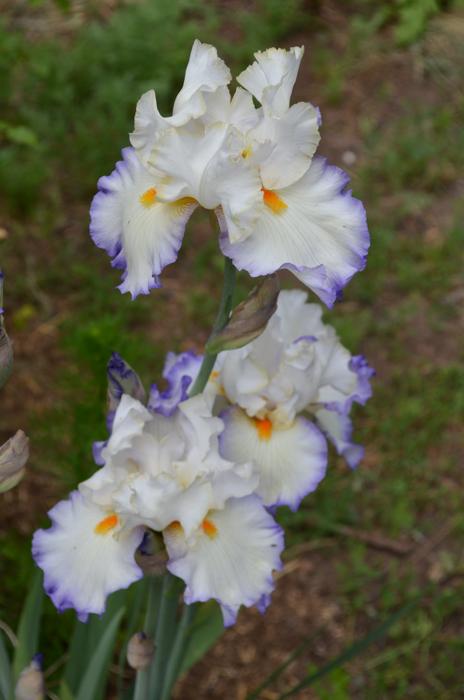 Revere Iris