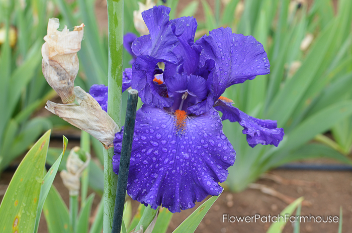 Paul Black, Superstition Iris Gardens