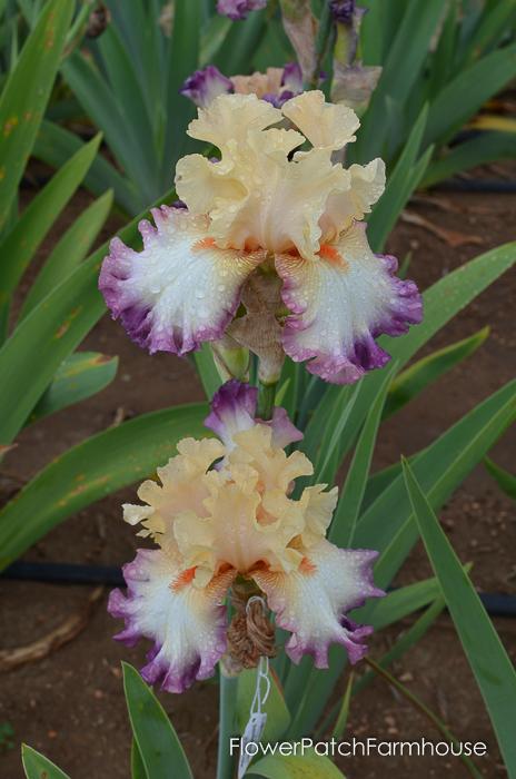 Passionate Kisses, Superstition Iris Gardens