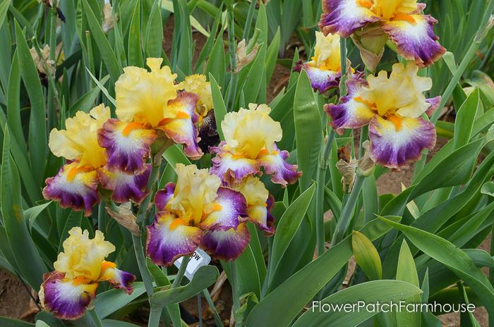 Rainbow High, Superstition Iris Gardens