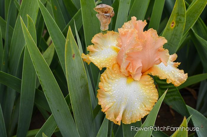 Barbara My Love, Superstition Iris Gardens