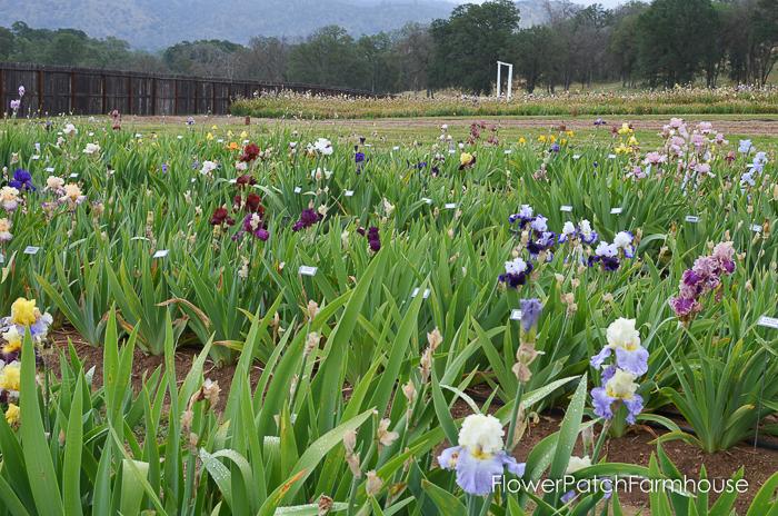 Superstition Iris Gardens