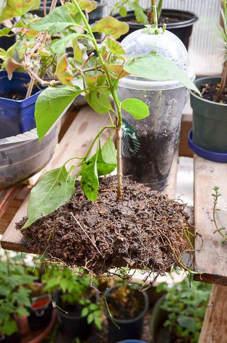 How to Propagate Lilacs from Suckers, easy enough if you have a sharp shovel and a bit of muscle.