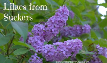 Propagate Lilacs from Suckers