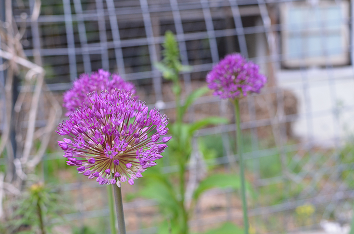 Allium Purple Giant