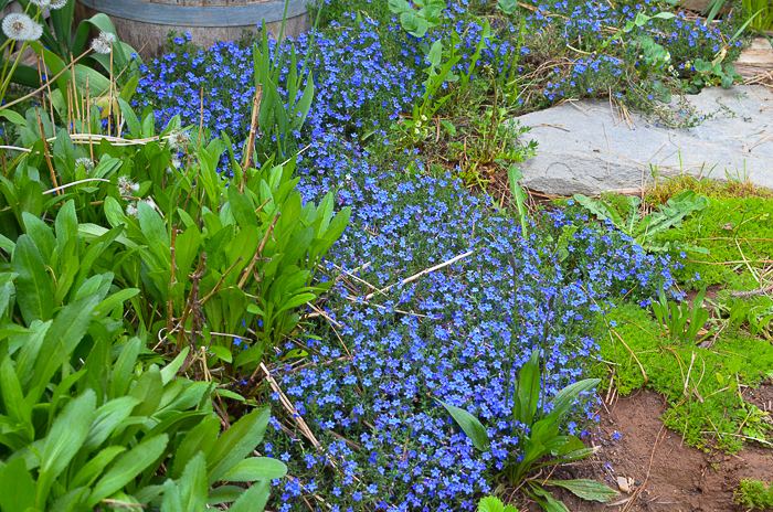 Ground cover Lithodora